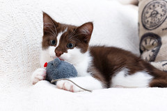 Sophie and her toy (socreative) Tags: pet cats brown love beauty cat toy kitten kitty kittens kitteh meow cuteness cure