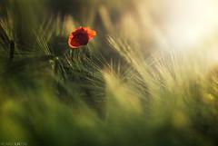 Exuberant (Photographordie) Tags: amapola campo trigo verano 2016 olympuspenepm2 samyangasphericalif85mmf14 rokinon vivitar 85mm 14 bokeh light luz samyang85mm poppy field flare green beautyinnature beautifullight