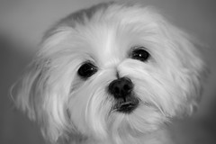 15879 - Kira (Diego Rosato) Tags: kira cani animali dogs pets animals primo piano luci nikon d700 85mm gimp kenko teleconverter