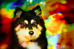 lost in psychedelia 28/52 (sure2talk) Tags: taivas finnishlapphund lostinpsychedelia psychedlic psychedelia surreal colours colourful holographicpaper nikond7000 lensbaby lensbabycomposerpro sweet50optic flash speedlight sb900 diffused offcamera softbox we1072016 52weeksfordogs 2852