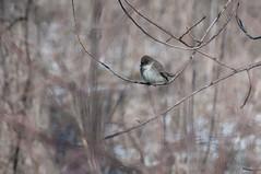 2016 Eastern Phoebe 9 (DrLensCap) Tags: park chicago bird robert nature illinois village north center il phoebe eastern kramer flycatcher
