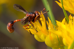Thick-Headed Fly (Tom's Macro and Nature Photographs) Tags: flowers fly bees insects flies wildflowers mimicry diptera macrophotography parasitic conopidae thickheadedfly
