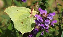 Brimstone 220716 (Richard Collier - Wildlife and Travel Photography) Tags: wildlife naturalhistory insects butterflies british macro brimstone