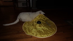 Mystic (universalcatfanatic) Tags: cats mystic white cat green eyes eye play playing yellow toy mechanical battery operated hard wood hardwood wooden floor living room livingroom tent moving stick vent chair legs black kitchen entrance christmas present gift
