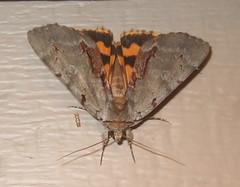 Catocala grynea - Woody Underwing (Stylurus) Tags: moth michigan lodi township prairie oaks catocala grynea woody underwing