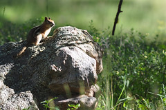 Golden-Mantled Groundsquirrel (Wild Bird Company) Tags: goldenmantledgroundsquirrel callospermophiluslateralis colorado boulder wildbirdboulder wildbirdcolorado wildbirdcompany formerwildbirdcenter birdseed birdwalk meyersgulch walkerranchopenspace bouldercountyparksandopenspace jackklase