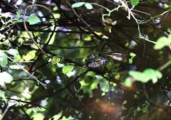 Frog (kazunori k) Tags: beautiful sun sunlight shadow frog animal japan xt1 fuji flickr blue green eye cute water pond nature outside mountain forest leaf