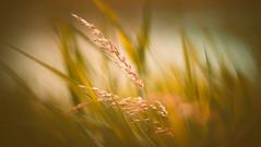 Meadow Oat-grass (Dhina A) Tags: sony a7rii ilce7rm2 a7r2 sonyalpha helios402 c f15 helios402c85mmf15 prime kmz russian 10blades 402 helios bokeh meadow oatgrass