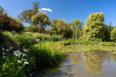 Little Clouds (Jocey K) Tags: newzealand bankspeninsula southisland motukarara irisgarden iris pond lilypond reflections lilies trees clouds sky