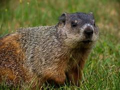 Woodchuck (dennisgg2002) Tags: nevins bird sanctuary methuen massachusetts woodchuck groundhog