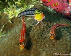 THE ODD ONE OUT_ (Niall Deiraniya Underwater Photography) Tags: gobies goby blenny marine seas underwater macro