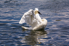 Trumpeter Swan in Yellowstone (grimeshome) Tags: trumpeter trumpeterswan swan yellowstone yellowstonenationalpark yellowstoneriver haydenvalley nationalpark nationalparks river bird nature feathers water wilderness waterfowl