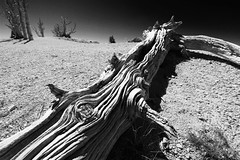 All in a knot (alideniese) Tags: tree nature bark patterns brycecanyon brycecanyonnationalpark utah usa blackandwhite bw monochrome light shadow contrast landscape sunny outdoors