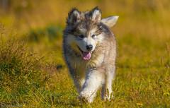 9 week old Malamute puppy <3 (Elma_Ben) Tags: 9weekold malamute puppy canoneos7dmarkii cute beautiful sigma150600mm elmaben