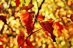Autumn... (krystyna p) Tags: leves bokeh orange yellow september autumn dof blurry liście kolorowe koloroweliście jesień wrzesień light światło żółty pomarańczowy red
