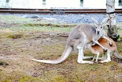 Kangaroos' family (sz1507) Tags: 2016 belgium marsupio marsupiali zampe belgio belgique brugelette bruxelles d60 nikond60 mammals animals coda tail motherandson cucciolo figlio son mamma colazione breakfast allattare latte park jardin jardindumonde pairidaiza famiglia familytime family babykangaroo baby mammaefiglio milk cub momandcub canguri kangaroo kangaroos