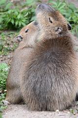 Capybaras im Ouwehands Dierenpark Rhenen (Ulli J.) Tags: zoo niederlande nederland netherlands paysbas nederlandene utrecht rhenen ouwehandsdierenpark capybara wasserschwein kapivar fodsvin grandcabia grandcochondeau grandhydrochre capibara waterzwijn