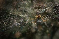 Home Sweet Home (hutchyp) Tags: spider arachnid web silk woods warsash common hampshire wildlife