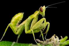 Mantis (Creobroter sp.) - PA120027 (nickybay) Tags: singapore durianloop macro hymenopodidae mantis meantodea creobroter nymph