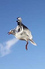 Rieuses  table (rocailles) Tags: mouetterieuse rieuse mouette matriel gull beach plage bird oiseau