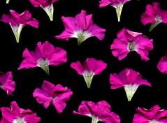 57783.01 Petunia (horticultural art) Tags: horticulturalart petunia flowers pattern