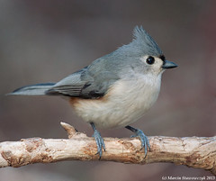 Titmouse (v4vodka) Tags: bird birding birdwatching animal nature wildlife longisland newyork titmouse tuftedtitmouse baeolophusbicolor songbird sikoradwubarwna elizabethmortonwidliferefugemortonsanctuary