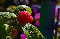 Yummy raspberry (ChemiQ81) Tags: malina owoc raspberry fruit ovocn zahradn ogrd dziaka krzak czerwony malinowy bush