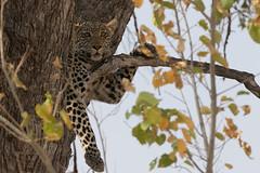 Leopard (moments in nature by Antje Schultner) Tags: leopard botswana wildlife africa afrika tree baum khwai region