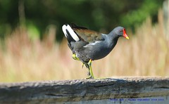 Walk The Line......... (law_keven) Tags: moorhen avian birds londonwetlandcentre wwt london barnes england feathers feathery dof bokeh