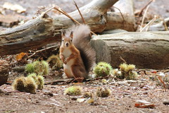 IMG_3908 Red Squirrel (Photos-Tony Wright) Tags: brownseaisland brownsea dorset uk october 2016 poole harbour animal wildlife red squirrel sweet chestnut log