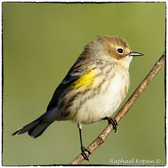 Yellow Rumped Warbler (RKop) Tags: armlederpark cincinnati ohio raphaelkopanphotography a77mk2 sonydslr 600mmf4apogminolta sony warblers warbler
