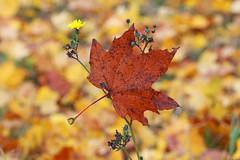 Autumn Leaf (dtroi17) Tags: season jahreszeit autumn herbst leaf blatt rot red meadow wiese outdoor