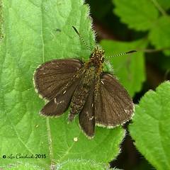 Coorg forest hopper or Dingy scrub hopper (LPJC) Tags: butterfly munnar kerala india 2015 lpjc coorgforesthopper skipper endemic arnettamercara
