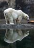 Polar Bear (Robert Wash) Tags: bear oregon portland zoo or polarbear oregonzoo