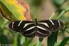 Zebra Longwing, Tumbes, Peru (hogsas) Tags: peru butterfly butterflies zebralongwing identified tumbes heliconius heliconiuscharithonia charithonia peruvianimages amotape infinitexposure
