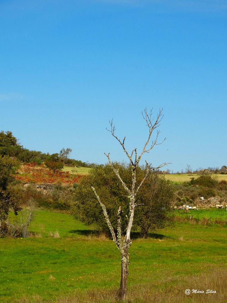 Águas Frias (Chaves) - ...a árvore despida no meio do campo ...