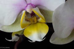 """Orchid • <a style=""""font-size:0.8em;"""" href=""""http://www.flickr.com/photos/92159645@N05/16048512659/"""" target=""""_blank"""">View on Flickr</a>"""
