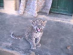 Baby Leopard Roar