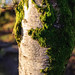 Moss on Beech Tree