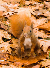 Squirrel (Ukira) Tags: autumn trees tree grass leaf squirrel leafs