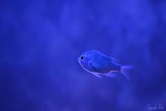 Mon petit poisson d'avril (Sarah-Vie) Tags: aquarium poisson dsc0146