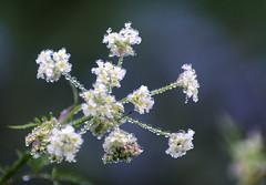 Dew Laden Flowers (teuchter10) Tags: world scotland flora natural united kingdom dew davidson greig alness highlandsflowers