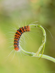Arlequin en Carrusel (Josue ( joscello )) Tags: macro venezuela insects caterpillar joscello