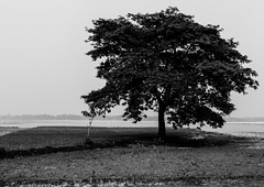 a solitary tree (Nikondxfx (instagram)) Tags: tree river border lone lonely nikkor solitary beside 1685 jaldhaka d5200 indobangladesh nikond5200
