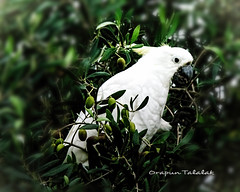 Cockatoo at back yard. (Myphotorose-on and off.. :)) Tags: bird nature beautiful canon wildlife cockatoo canoneos whitebird tamrontelephotolens 300mm600mm