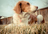 Daisy avoiding eye contact - 56/365 (auntneecey) Tags: dog daisy day56 ratseyeview day56365 365the2015edition 3652015 25feb15