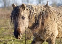 P1230009 (Dick DB) Tags: horses horse holland animal 1 alice olympus mm 18 em wonderland 75 denbosch omd paarden em1 konik omdem1 diezemonde dickbesse