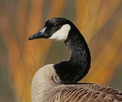 Canada Goose (ken.helal) Tags: 20150308heronkingfisher