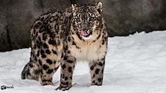The Taste of snow 2 (Saarblitz) Tags: schnee snow canon germany zoo von leopard taste der saarland winterscenes schneeleopard geschmack neunkirchen sigma50500mm saarblitz eos70d winterszenen