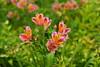 astromelia (Valentín Sánchez Tiemblo) Tags: flowers flor paisaje campo blume astromelia